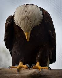 praying eagle